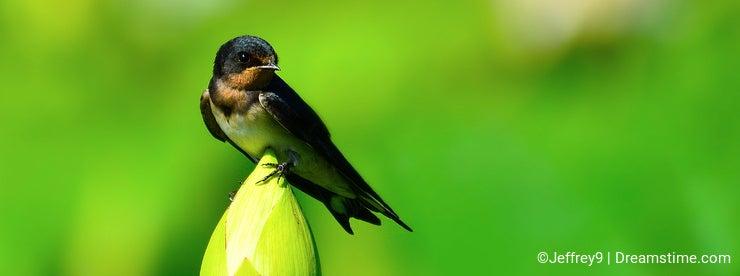 Swallow & Lotus