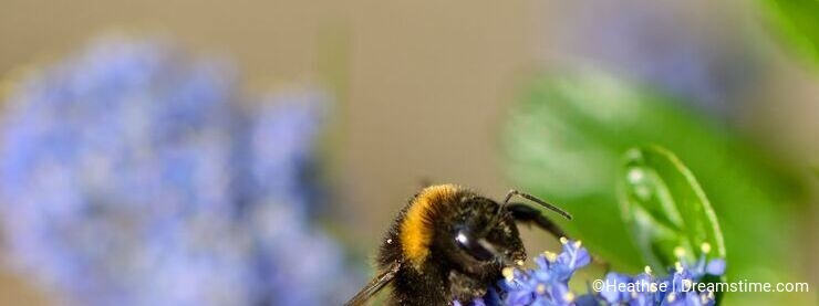 Bumble bee on ceanothus blossom