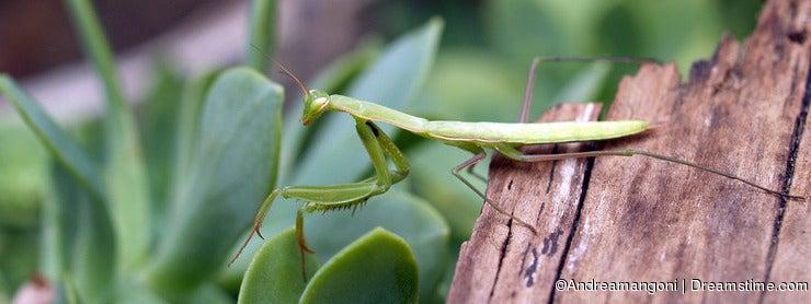 praiyng mantis