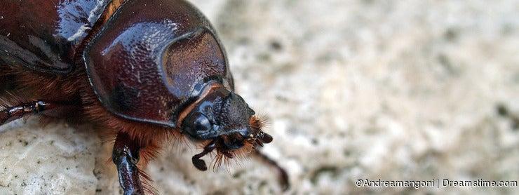 Rhino beetle female