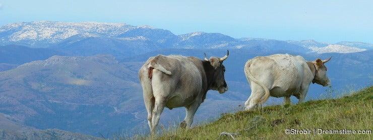 Depasturing cows