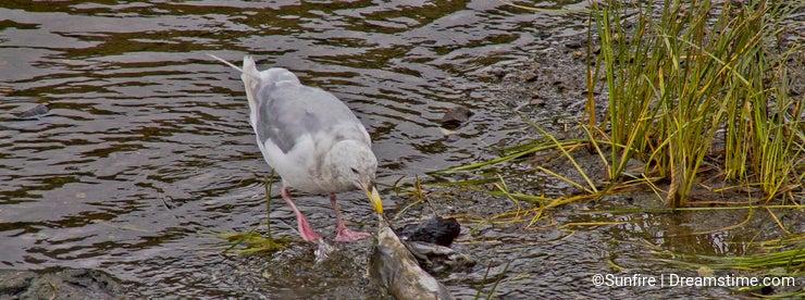 Scavenger birds feasing on salmon