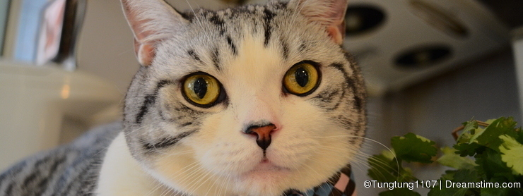 Scottish Fold Cat With a Bow Tie