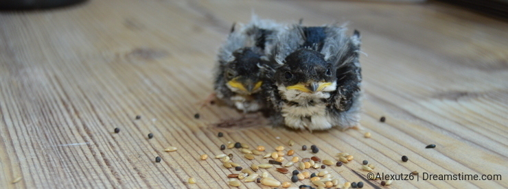 Two baby swallow birds eating seeds