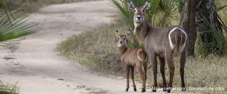 Mom and baby Waterbuck