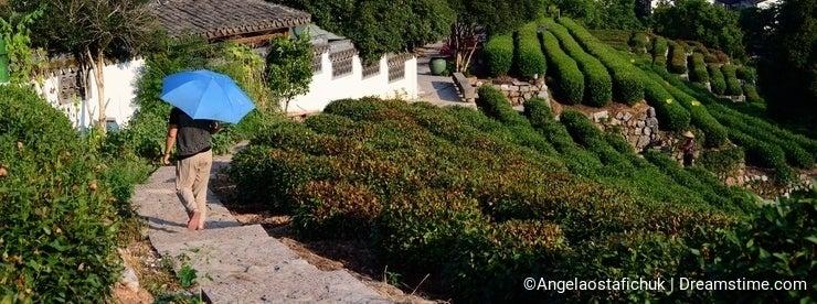 Tea Plantation in Hangzhou
