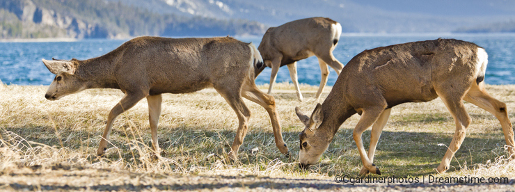 Group of Deer Foraging by Mountain Lake