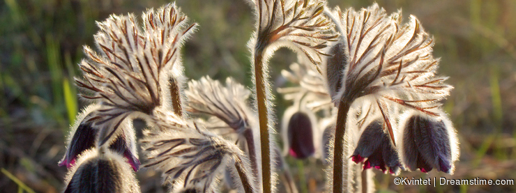 Pasque flowers closeup with backlight in the wild
