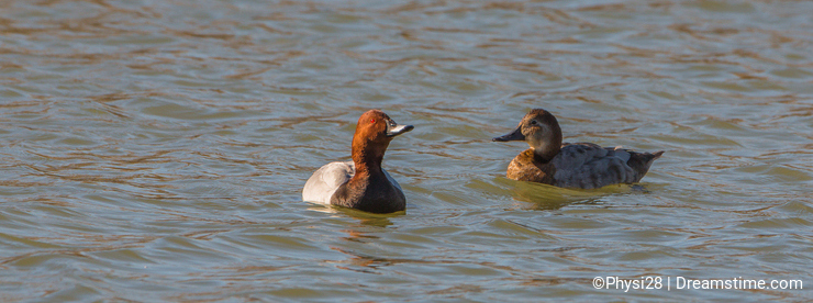 A couple of Common Pochards