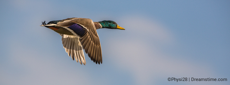 Close-up of a Mallard in flight
