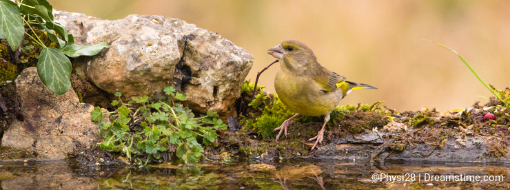 Greenfinch drinking at pool with reflections
