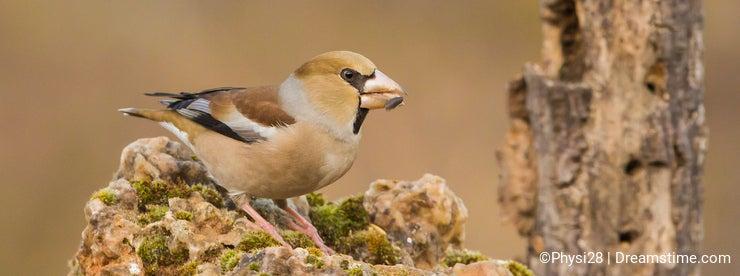 Hawfinch on a rock