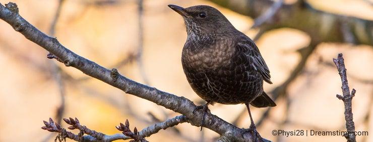 Blackbird perching on a branch