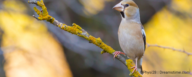 Hawfinch perched on branch