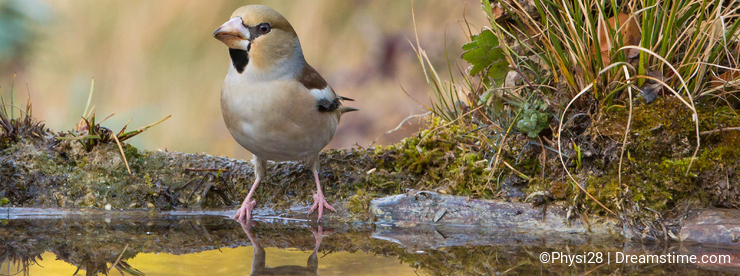 Hawfinch at pool with water reflections