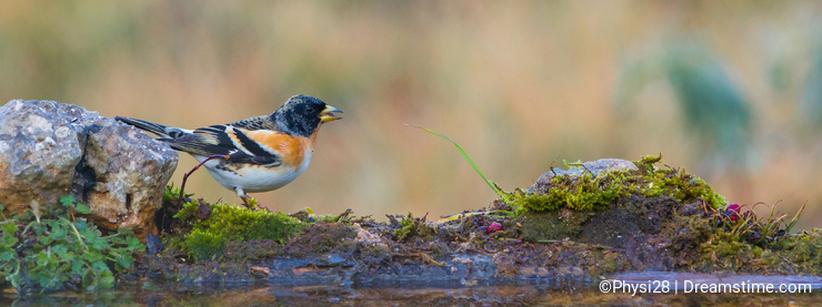 Brambling with water reflections
