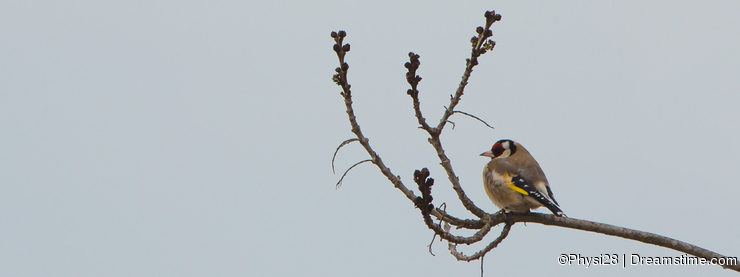 Goldfinch perching on dry branch