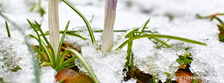 Crocus sprouts in snow
