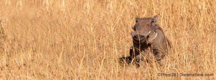 A happy Warthog
