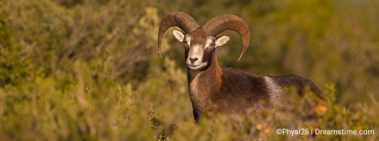 Adult male Mouflon