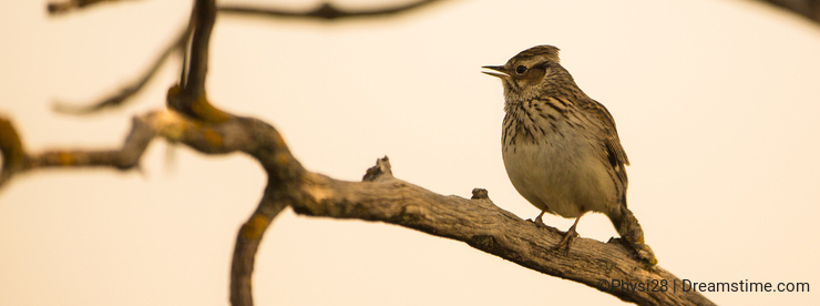 Thekla Lark singing on branch