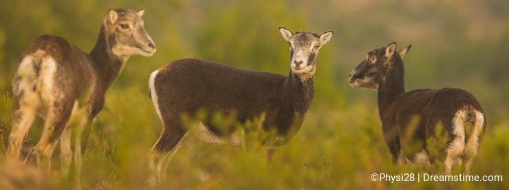 Three juvenile Mouflon female