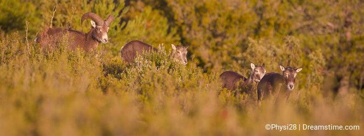 Small flock of Mouflon