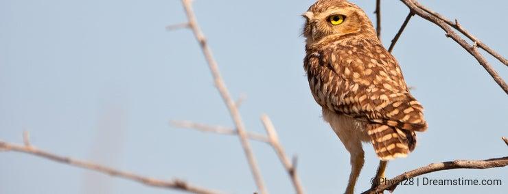 Burrowing Owl on guard