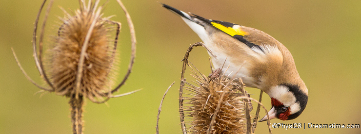 Goldfinch on dry Thistle plant