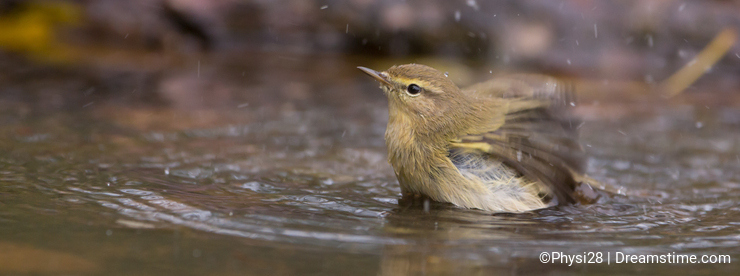 Chiffchaff taking a bath