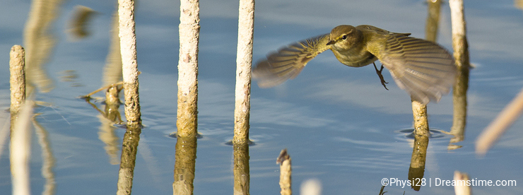A Common Chiffchaff flying over the water