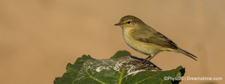 Chiffchaff perched on green leaf