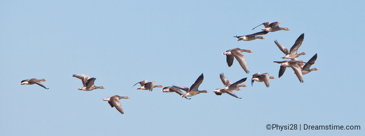 A group of flying Greylag Geese