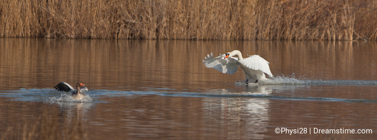 A Mute Swan attacking a goose