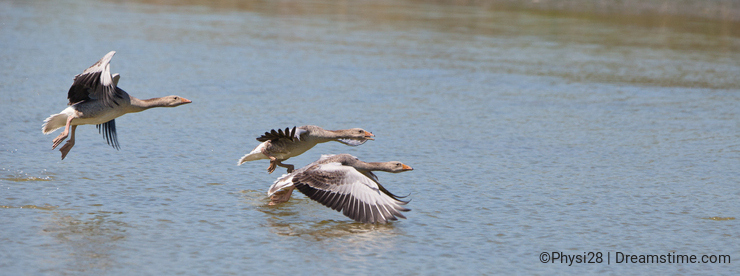 A flock of Greylag Geese taking off