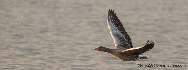 Greylag Goose close-up in flight