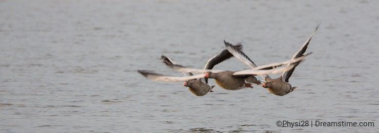 Greylag Geese flock in flight