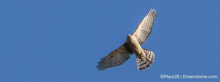Sparrow Hawk in flight