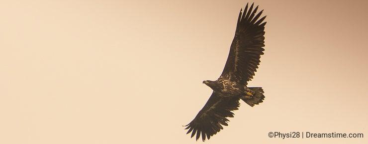 White-tailed Eagle in autumn sky