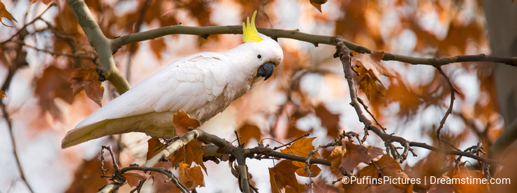 Cockatoo in Autumn