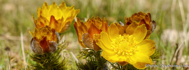Adonis flower in the wild nature.