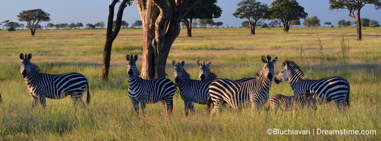 Zebras family portrait. Mikumi National Park, Tanzania