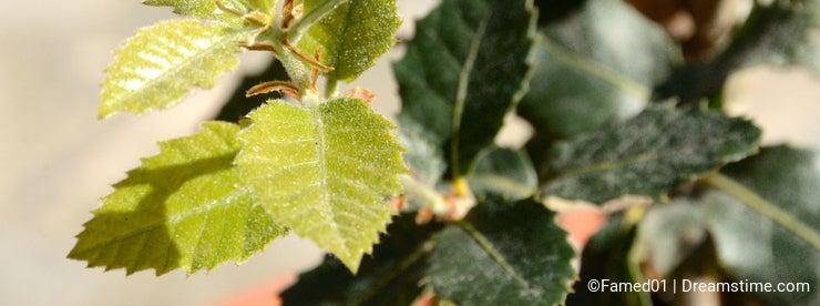 Young cork oak leaves