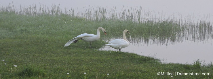 Morning fog and swans near lake