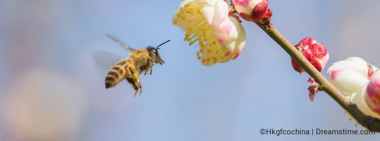 Flying bee and peach blossom