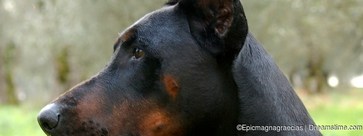 Male Adult Dobermann