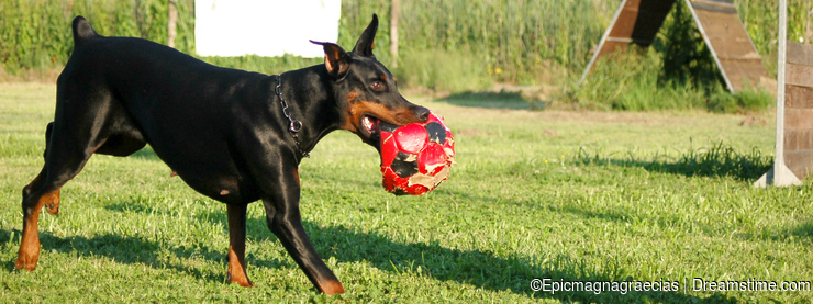 Dobermann running with ball