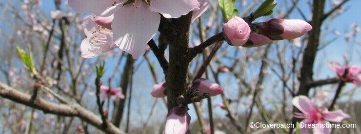 Peach Blossoms and Blue Sky