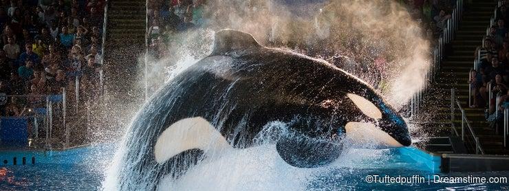 Kyuquot - orca at SeaWorld San Antonio