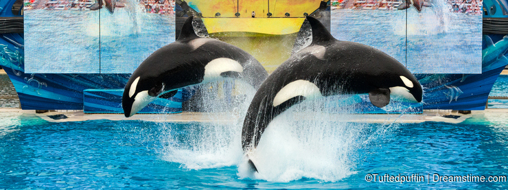 SeaWorld San Diego - Orcas Kasatka and Orkid front flip